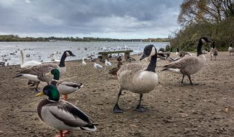 Birds on the shore at Pennington Flash in Leigh